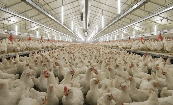 The Benefits Of Poultry Led Lighting Flexfire Leds Blog